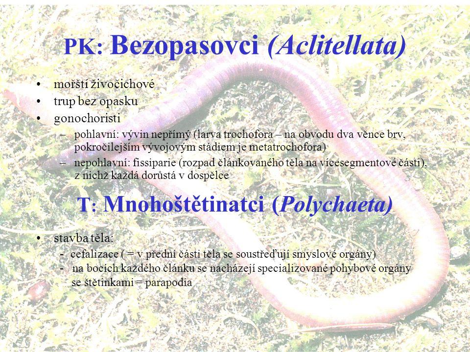 nepohlavní –řetízkový rozpad - schizotomie –slušná regenerace –vývoj rýhování spirální larva trochofora –více typů –obrvená, planktonní –přirůstání čl