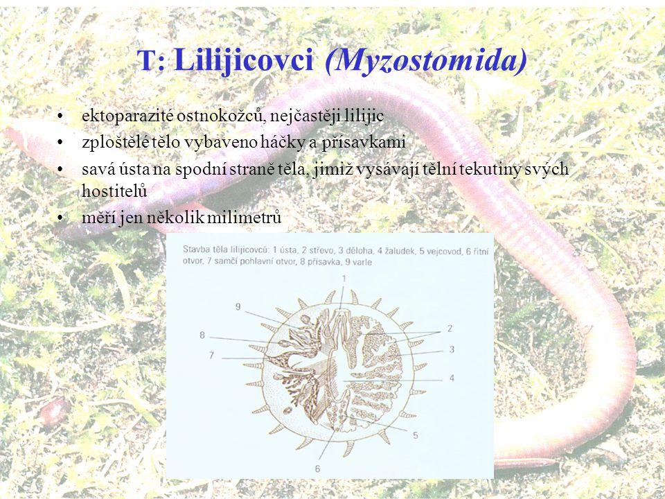 PT: Sedivci (Sedentaria) přisedlý žijí v rourkách, které si tvoří kolem těla Rournatec vejířový (Sabella spallanzanii)