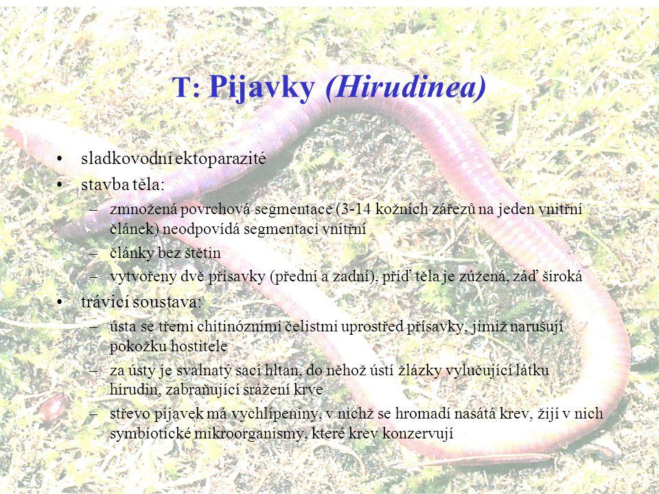 Zástupci Oligochaet Žížala hnojní Nitěnka větší (Eisenia foetida) (Tubifex tubifex)