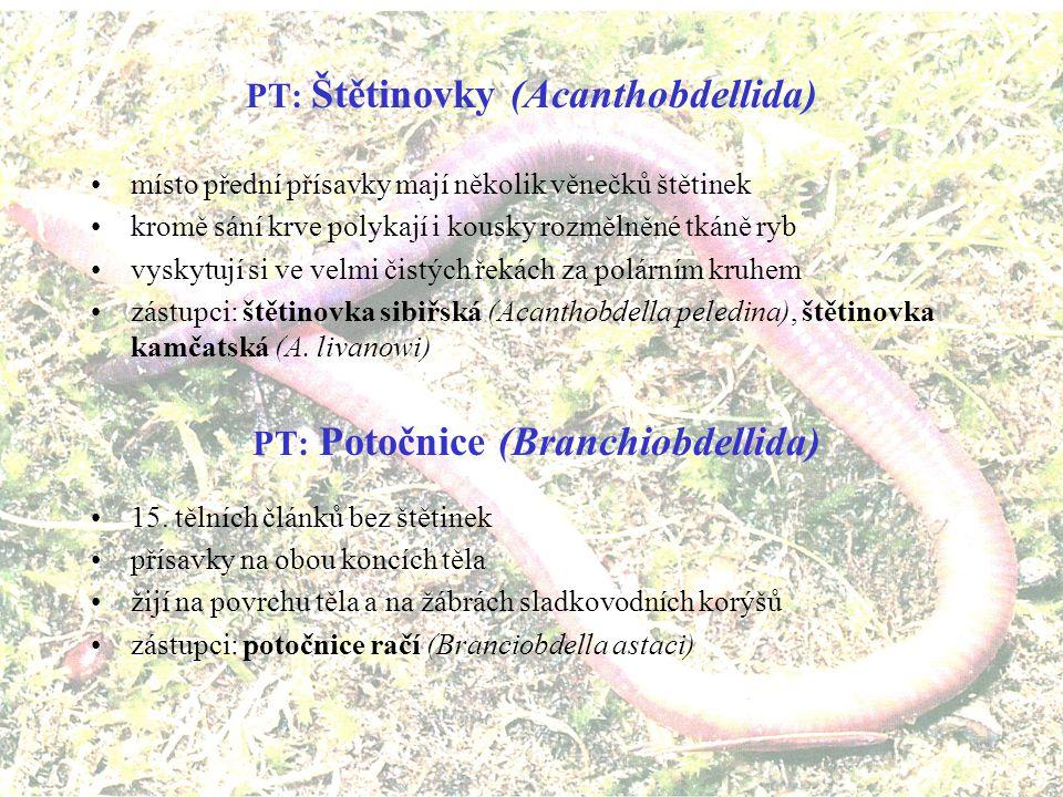 T: Pijavky (Hirudinea) sladkovodní ektoparazité stavba těla: –zmnožená povrchová segmentace (3-14 kožních zářezů na jeden vnitřní článek) neodpovídá segmentaci vnitřní –články bez štětin –vytvořeny dvě přísavky (přední a zadní), příď těla je zúžená, záď široká trávicí soustava: –ústa se třemi chitinózními čelistmi uprostřed přísavky, jimiž narušují pokožku hostitele –za ústy je svalnatý sací hltan, do něhož ústí žlázky vylučující látku hirudin, zabraňující srážení krve –střevo pijavek má vychlípeniny, v nichž se hromadí nasátá krev, žijí v nich symbiotické mikroorganismy, které krev konzervují