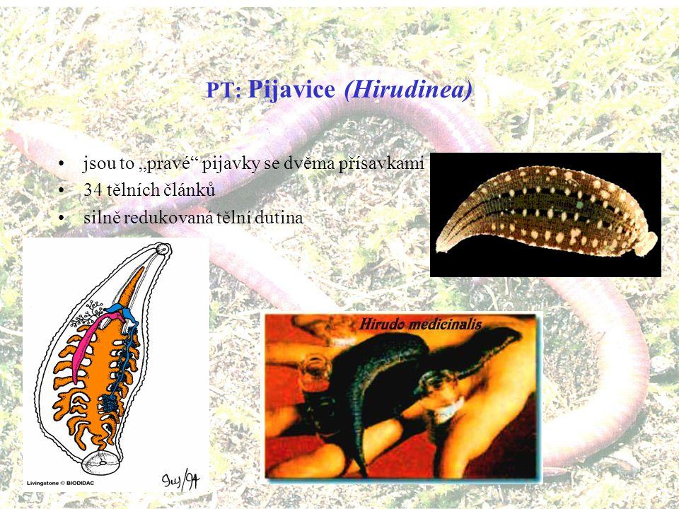 PT: Štětinovky (Acanthobdellida) PT: Potočnice (Branchiobdellida) místo přední přísavky mají několik věnečků štětinek kromě sání krve polykají i kousky rozmělněné tkáně ryb vyskytují si ve velmi čistých řekách za polárním kruhem zástupci: štětinovka sibiřská (Acanthobdella peledina), štětinovka kamčatská (A.