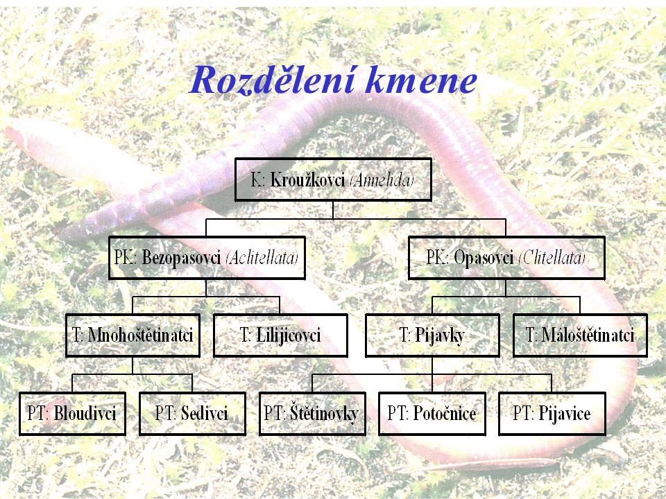 Systematické zařazení kmene nadříše: Jaderní (Eukaryota) říše: Živočichové (Animalia) podříše: Mnohobuněční (Metazoa) odd. B: Triblastica řada: Prvoús