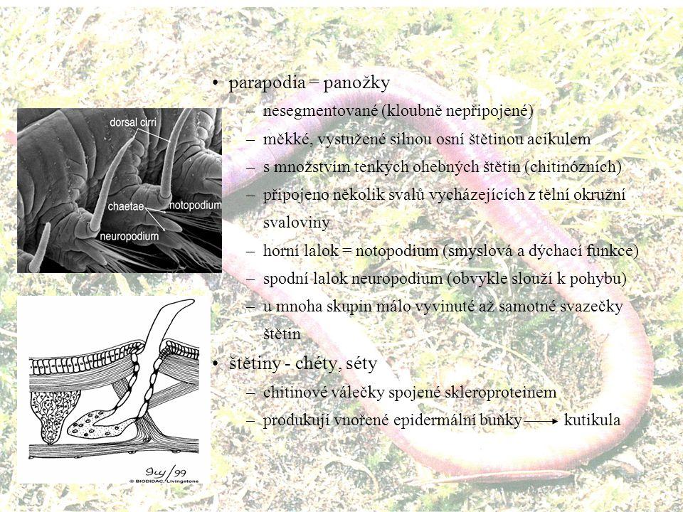 Charakteristika kmene –stavba těla bilaterálně souměrné pravá tělní dutina = coelom –schizocelní –prostorný, v každém článku oddělený přepážkami - septy –peritoneum drží střevo a jiné orgány v určité poloze červovité tělo - článkované - segmentované (metamerické orgány) chitinózní štětiny ve svazečcích na každém článku šíjové smyslové orgány obrvená pokožka kutikula (nesvlékaná) –kolagen, skleroprotein velikost 1 mm až 3 m