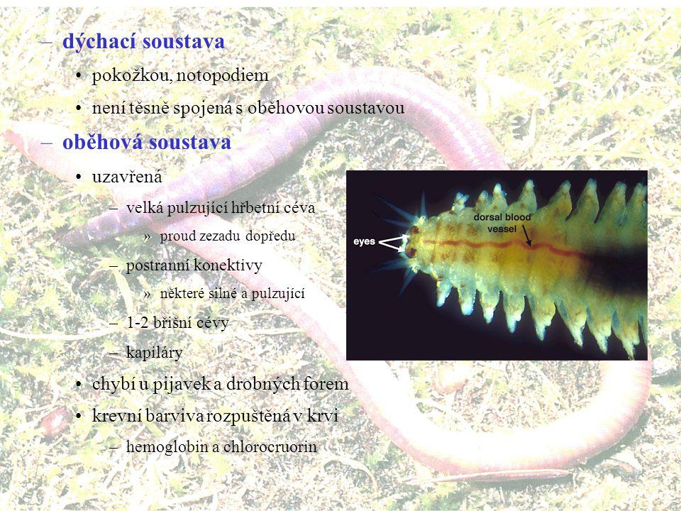 –trávicí soustava rovná trubice ústa lícní orgán –svalnatý hltan –vysunutelný chobotek –dorzální nebo ventrální orgán v hltanu –čelisti chitinózní s F