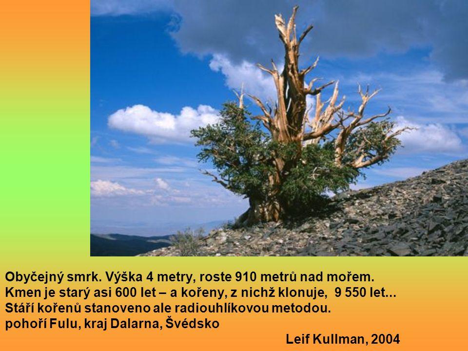 Wollemia nobilis wolemie vznešená druh starý 200 mil. let