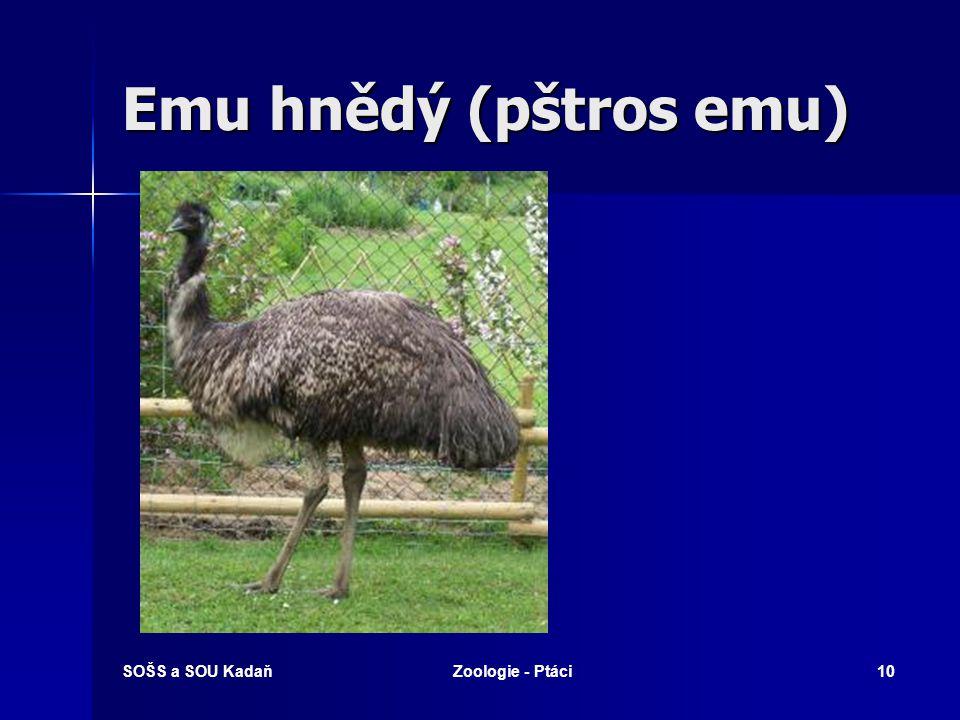Emu hnědý (pštros emu) SOŠS a SOU KadaňZoologie - Ptáci10