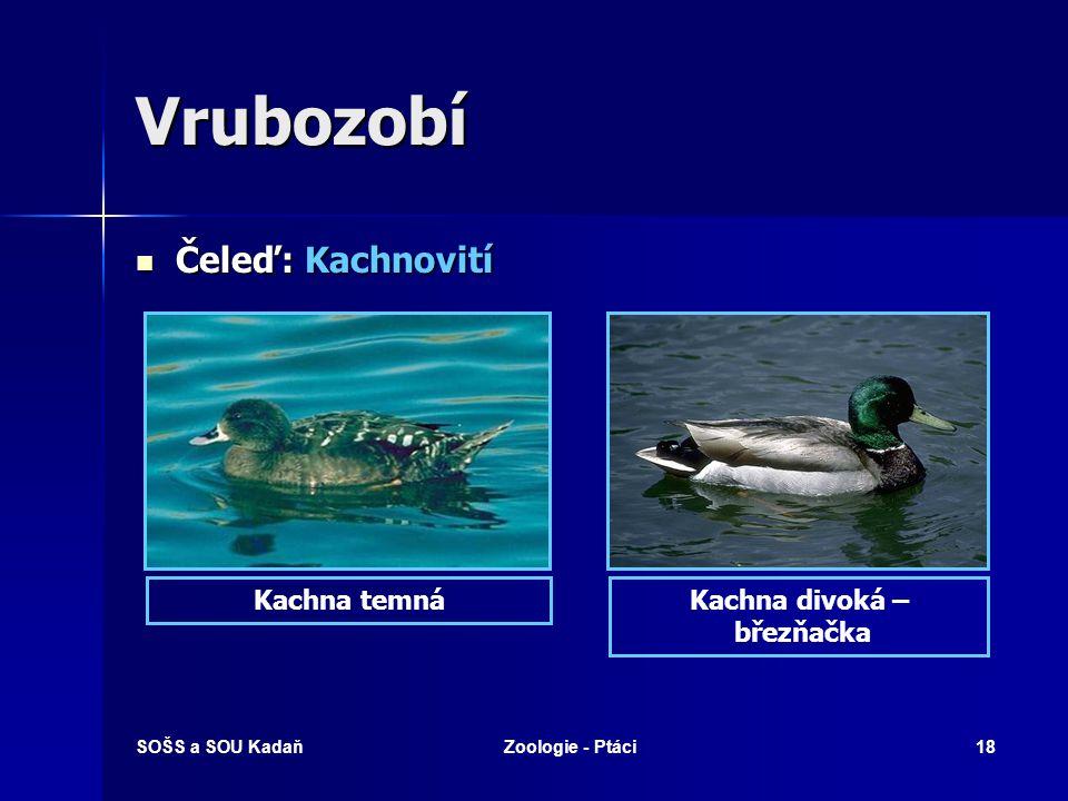 SOŠS a SOU KadaňZoologie - Ptáci18 Vrubozobí Čeleď: Kachnovití Čeleď: Kachnovití Kachna divoká – březňačka Kachna temná