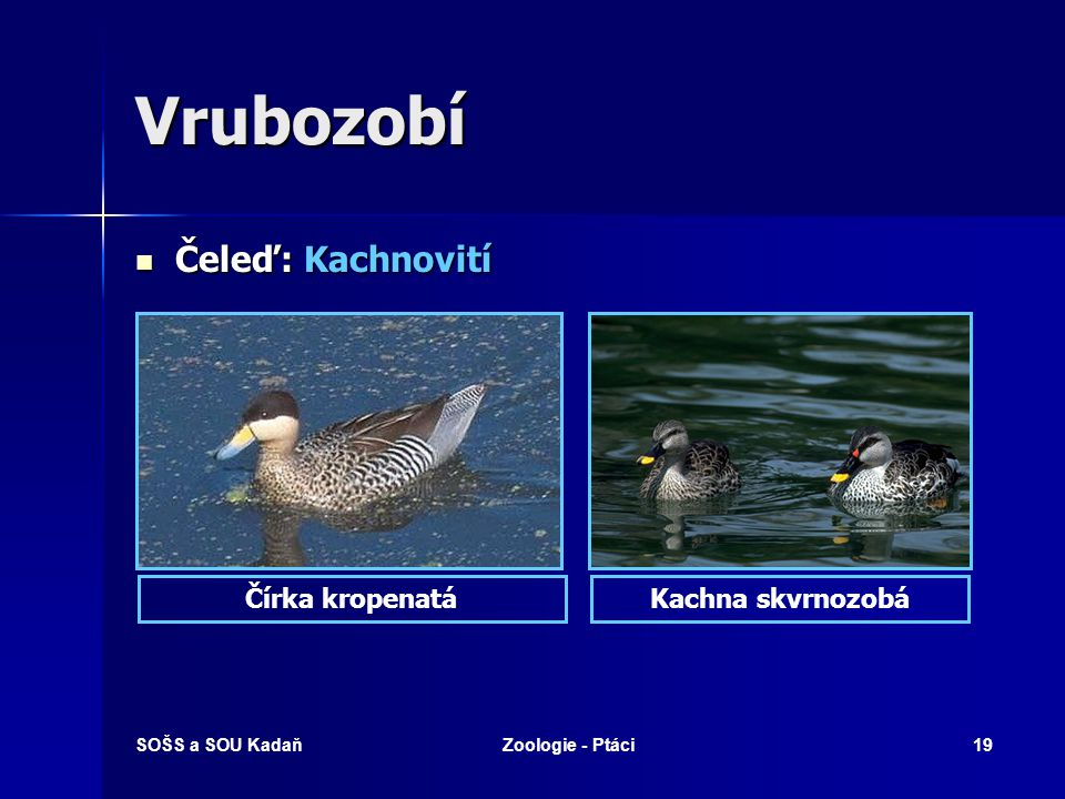 SOŠS a SOU KadaňZoologie - Ptáci19 Vrubozobí Čeleď: Kachnovití Čeleď: Kachnovití Kachna skvrnozobáČírka kropenatá
