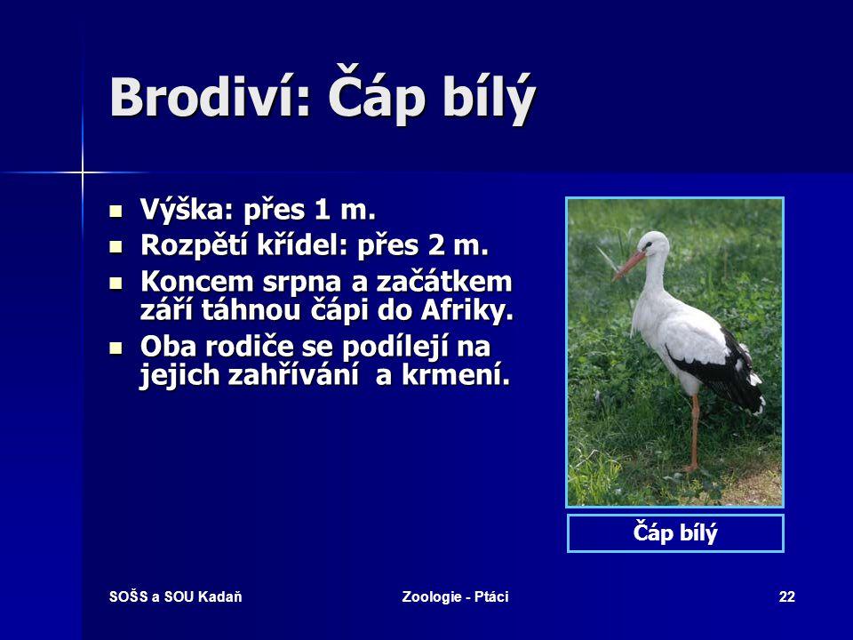 SOŠS a SOU KadaňZoologie - Ptáci22 Brodiví: Čáp bílý Výška: přes 1 m.