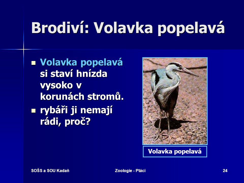 SOŠS a SOU KadaňZoologie - Ptáci24 Brodiví: Volavka popelavá Volavka popelavá si staví hnízda vysoko v korunách stromů.