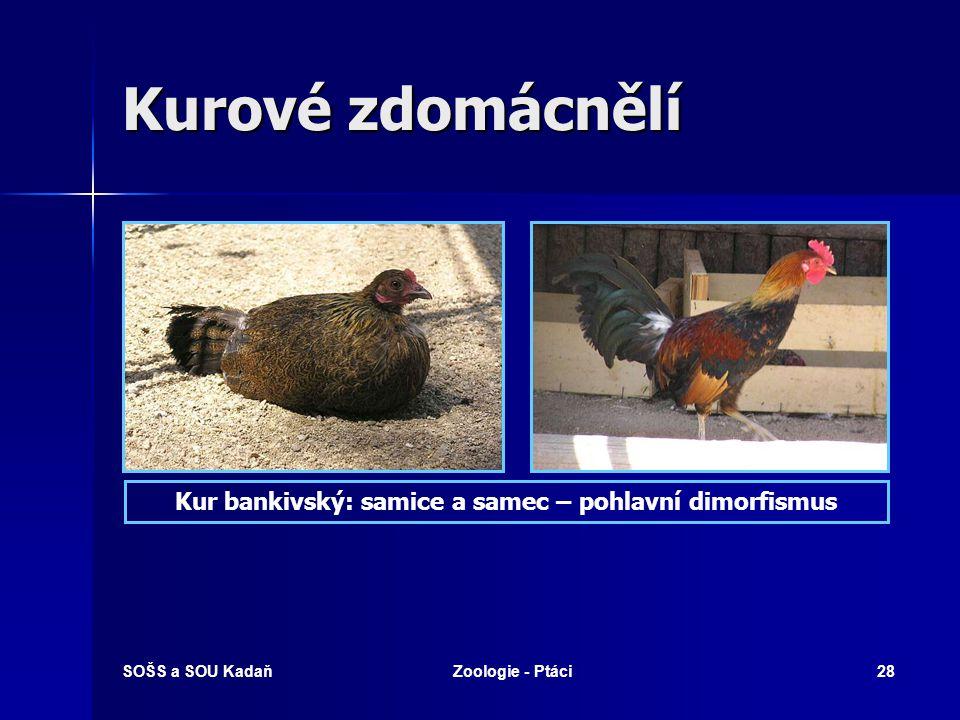 SOŠS a SOU KadaňZoologie - Ptáci28 Kurové zdomácnělí Kur bankivský: samice a samec – pohlavní dimorfismus