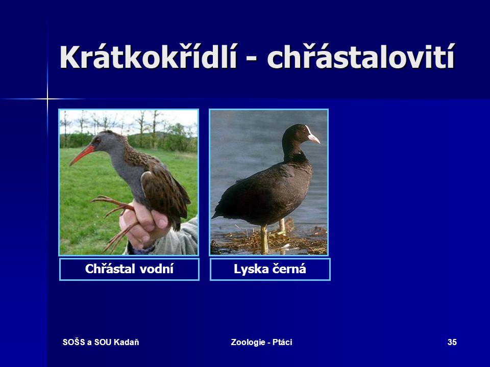 SOŠS a SOU KadaňZoologie - Ptáci35 Krátkokřídlí - chřástalovití Lyska černáChřástal vodní