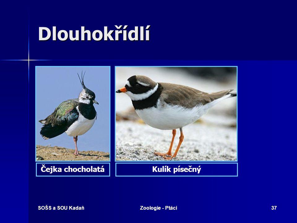 SOŠS a SOU KadaňZoologie - Ptáci37 Dlouhokřídlí Čejka chocholatáKulík písečný