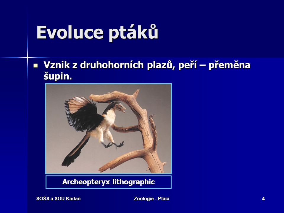 SOŠS a SOU KadaňZoologie - Ptáci4 Evoluce ptáků Vznik z druhohorních plazů, peří – přeměna šupin.