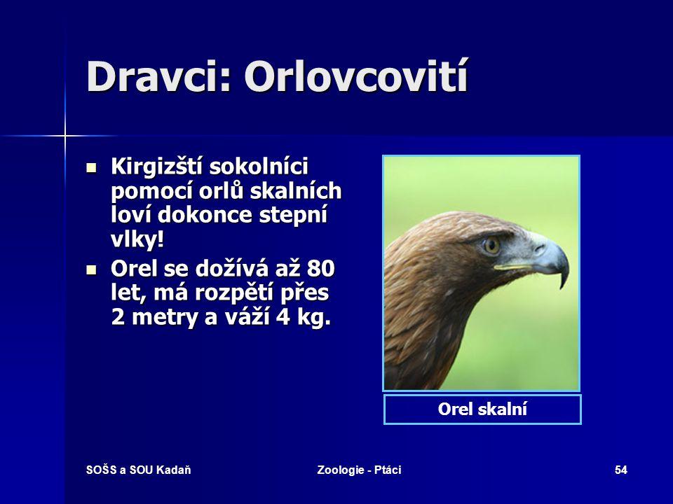 SOŠS a SOU KadaňZoologie - Ptáci54 Dravci: Orlovcovití Kirgizští sokolníci pomocí orlů skalních loví dokonce stepní vlky.