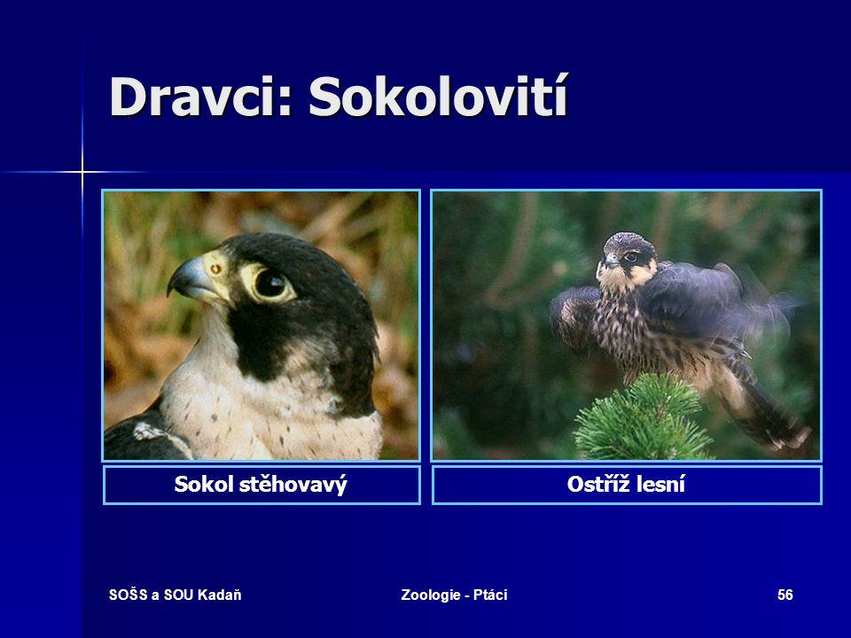 SOŠS a SOU KadaňZoologie - Ptáci56 Dravci: Sokolovití Sokol stěhovavýOstříž lesní