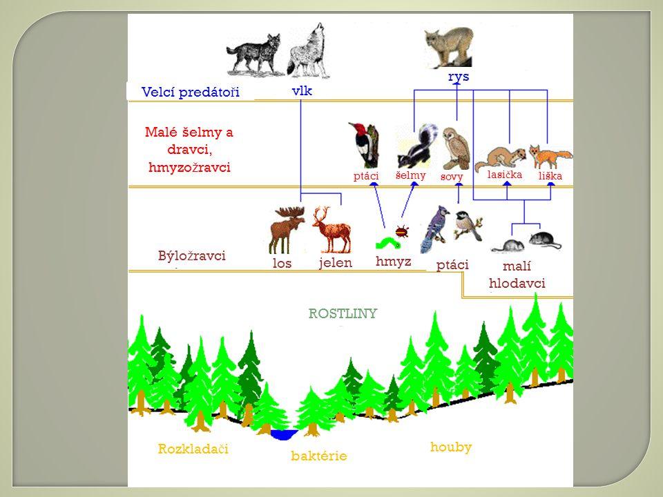 Velcí predáto ř i vlk rys Malé šelmy a dravci, hmyzo ž ravci Býlo ž ravci ROSTLINY Rozklada č i baktérie houby los jelen hmyz malí hlodavci ptáci šelmy sovy lasi č ka liška