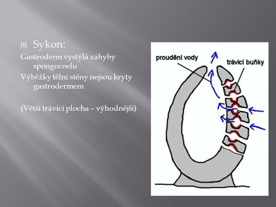  Sykon: Gastroderm vystýlá záhyby spongocoelu Výběžky tělní stěny nejsou kryty gastrodermem (Větší trávicí plocha – výhodnější)