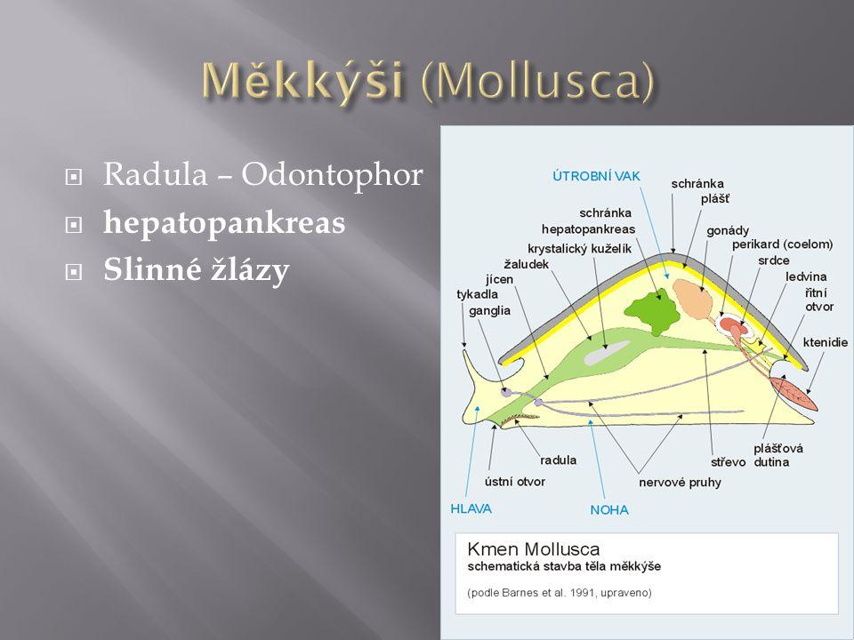  Radula – Odontophor  hepatopankreas  Slinné žlázy