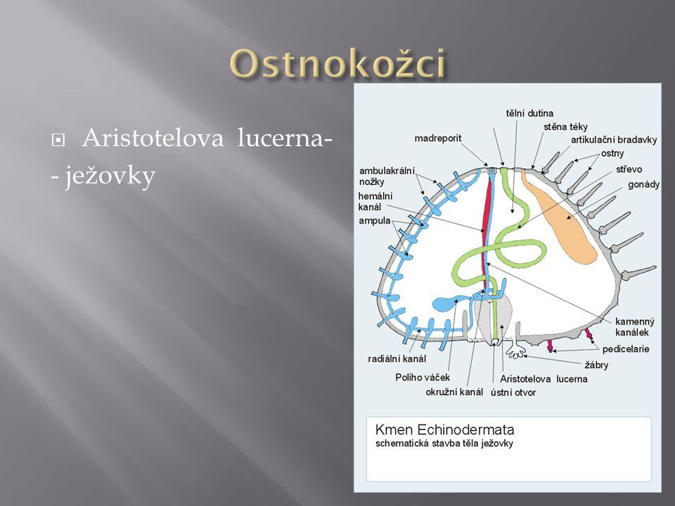  Aristotelova lucerna- - ježovky