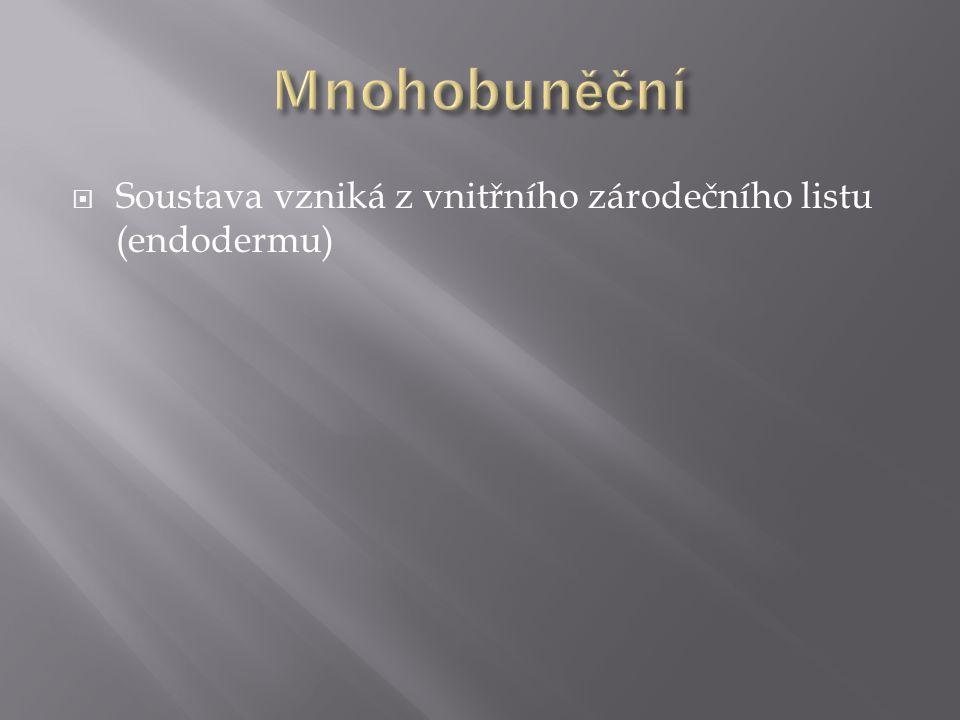  Soustava vzniká z vnitřního zárodečního listu (endodermu)
