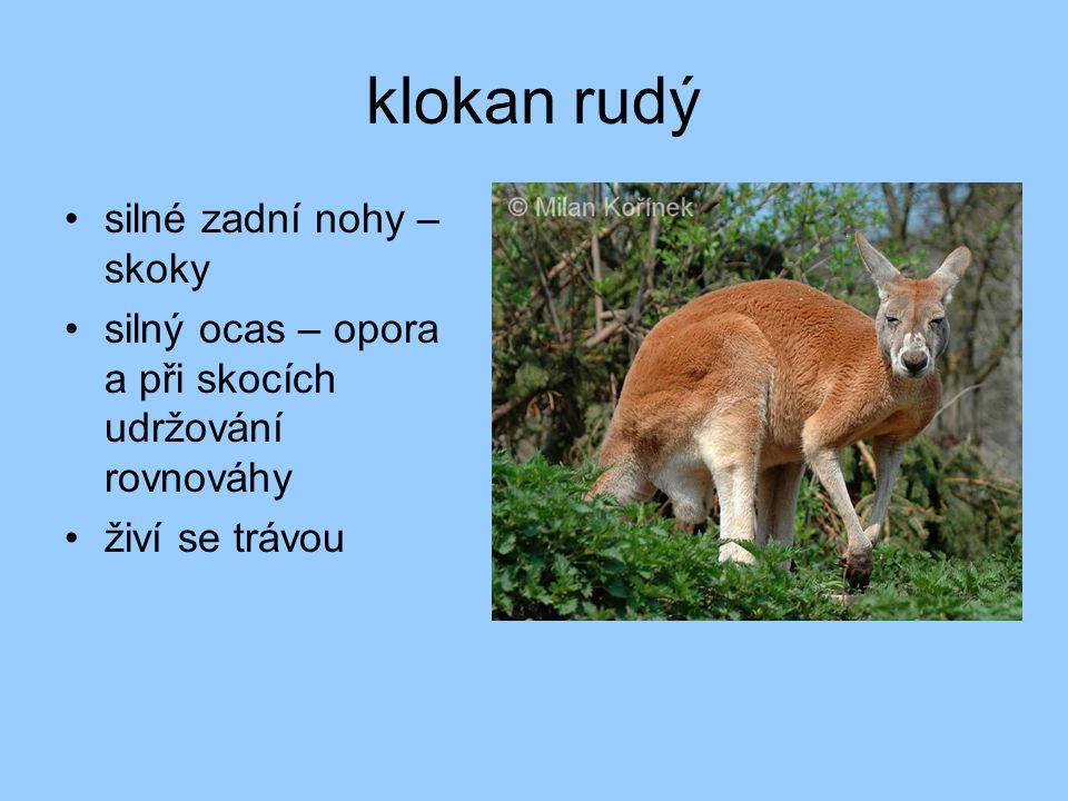 klokan rudý silné zadní nohy – skoky silný ocas – opora a při skocích udržování rovnováhy živí se trávou
