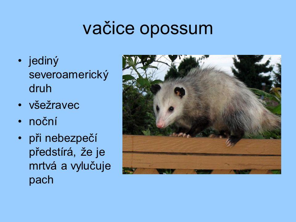 vačice opossum jediný severoamerický druh všežravec noční při nebezpečí předstírá, že je mrtvá a vylučuje pach