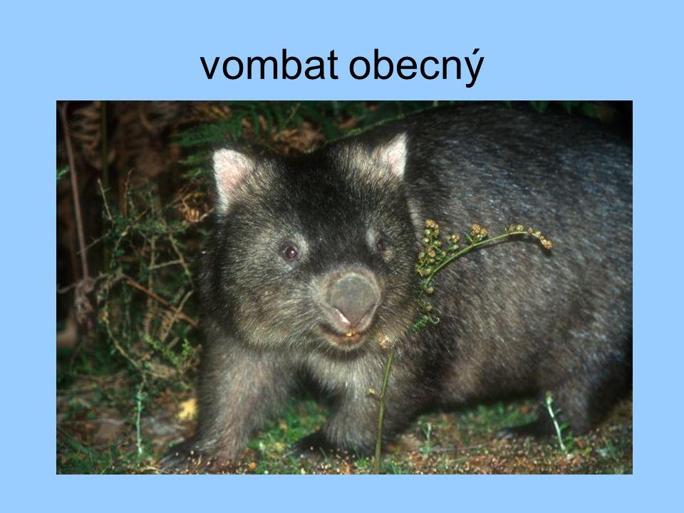 vombat obecný
