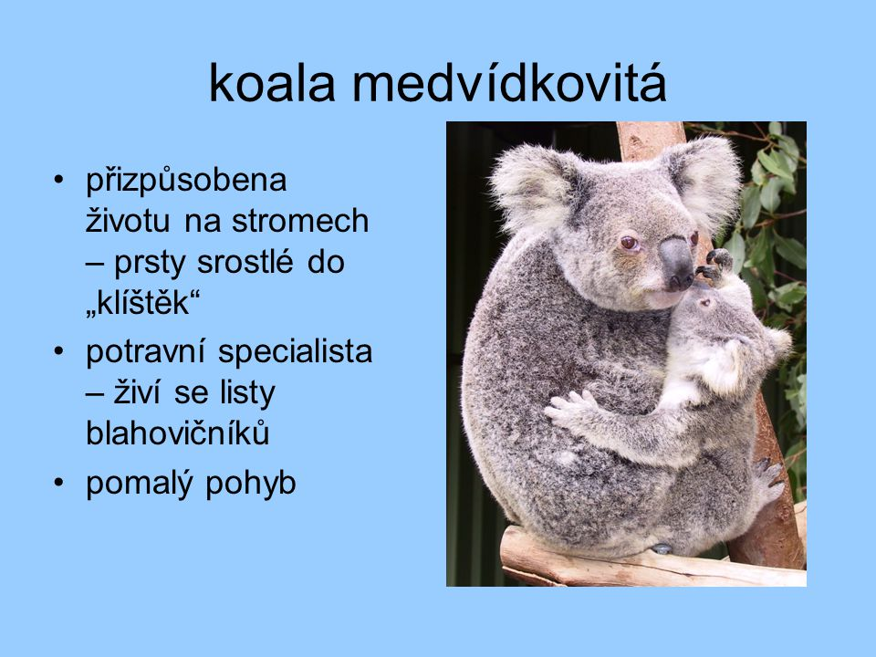 """koala medvídkovitá přizpůsobena životu na stromech – prsty srostlé do """"klíštěk potravní specialista – živí se listy blahovičníků pomalý pohyb"""
