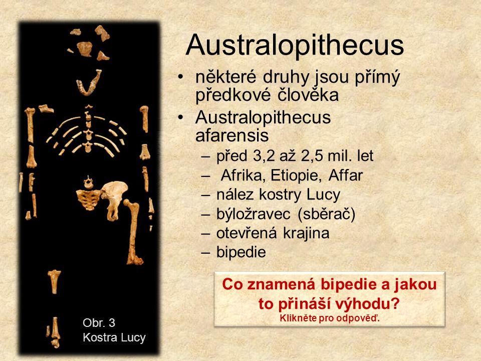 Australopithecus některé druhy jsou přímý předkové člověka Australopithecus afarensis –před 3,2 až 2,5 mil. let – Afrika, Etiopie, Affar –nález kostry