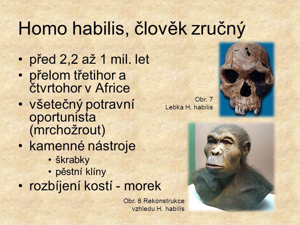 Homo habilis, člověk zručný před 2,2 až 1 mil. let přelom třetihor a čtvrtohor v Africe všetečný potravní oportunista (mrchožrout) kamenné nástroje šk