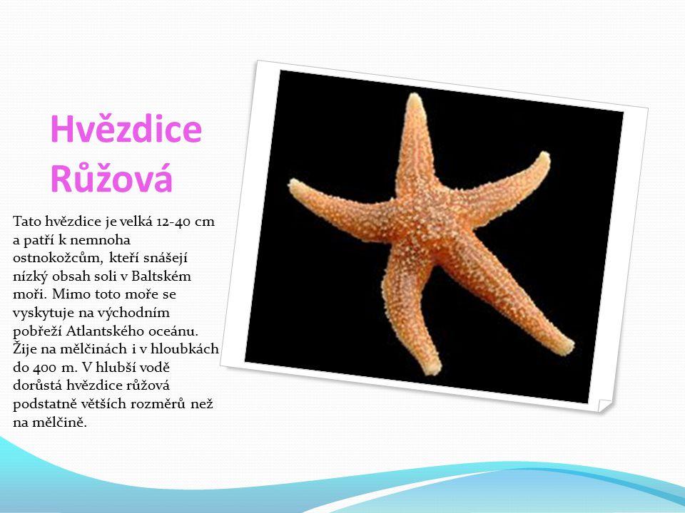 Hvězdice Růžová Tato hvězdice je velká 12-40 cm a patří k nemnoha ostnokožcům, kteří snášejí nízký obsah soli v Baltském moři.