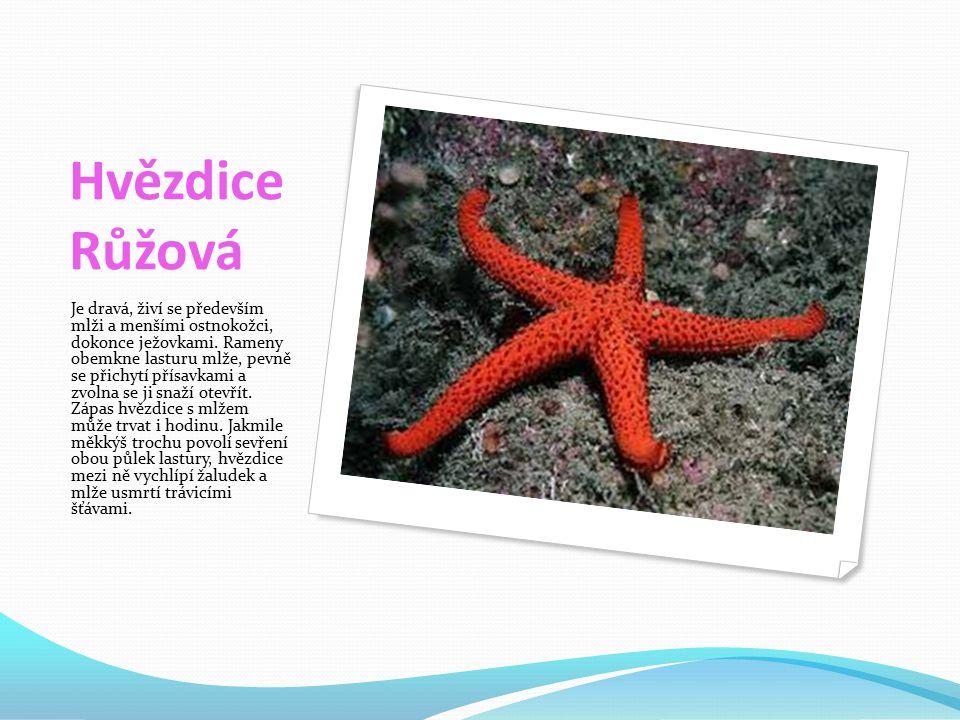 Hvězdice Růžová Je dravá, živí se především mlži a menšími ostnokožci, dokonce ježovkami.