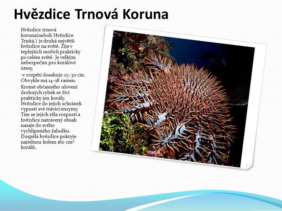 Hvězdice Růžová Je dravá, živí se především mlži a menšími ostnokožci, dokonce ježovkami. Rameny obemkne lasturu mlže, pevně se přichytí přísavkami a