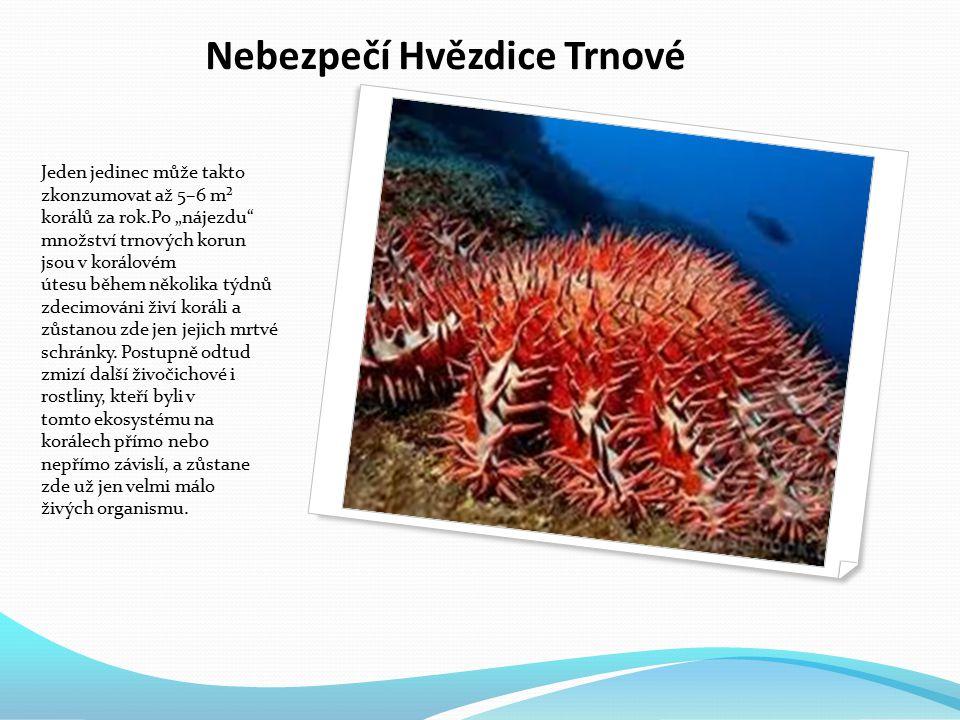 """Nebezpečí Hvězdice Trnové Jeden jedinec může takto zkonzumovat až 5–6 m² korálů za rok.Po """"nájezdu množství trnových korun jsou v korálovém útesu během několika týdnů zdecimováni živí koráli a zůstanou zde jen jejich mrtvé schránky."""