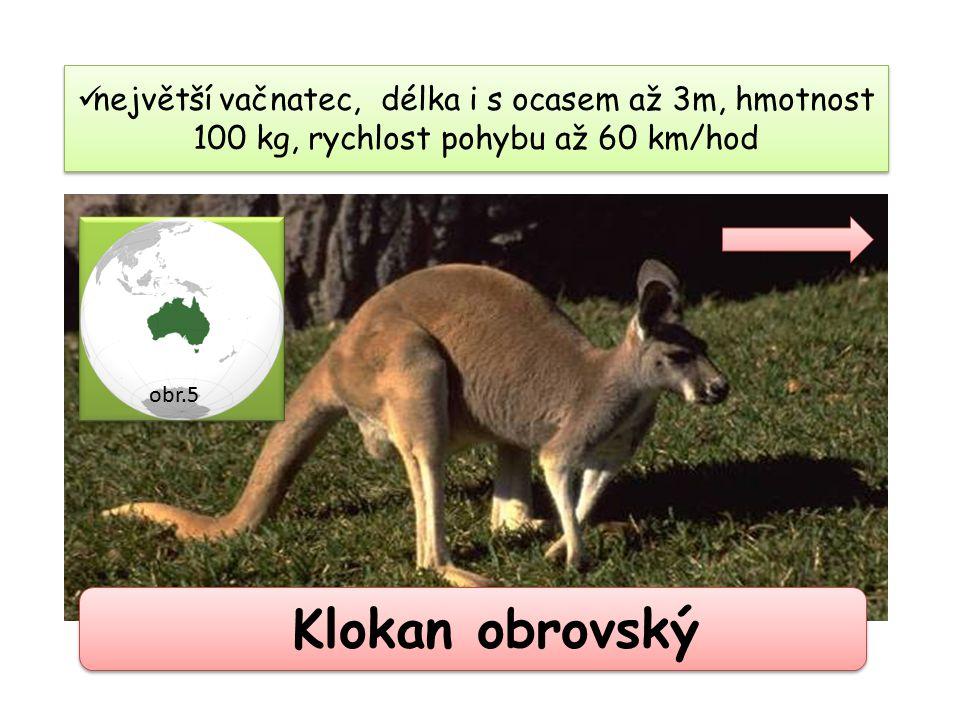 Klokan obrovský největší vačnatec, délka i s ocasem až 3m, hmotnost 100 kg, rychlost pohybu až 60 km/hod obr.5