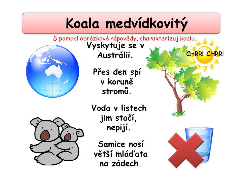 Koala medvídkovitý Voda v listech jim stačí, nepijí. Přes den spí v koruně stromů. CHRR! Vyskytuje se v Austrálii. Samice nosí větší mláďata na zádech