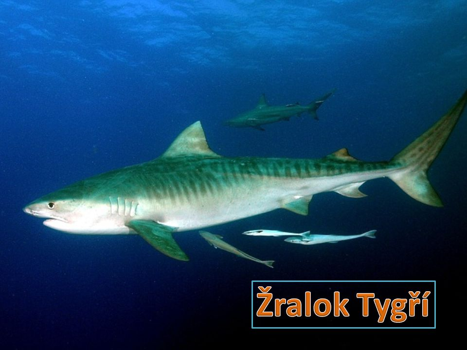 Žralok tygří je nejspíše odpovědný za většinu smrtelných útoků na lidi.