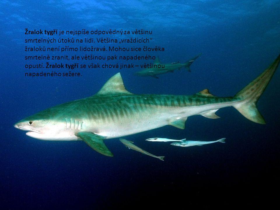 """Žralok tygří je nejspíše odpovědný za většinu smrtelných útoků na lidi. Většina """"vraždících"""" žraloků není přímo lidožravá. Mohou sice člověka smrtelně"""