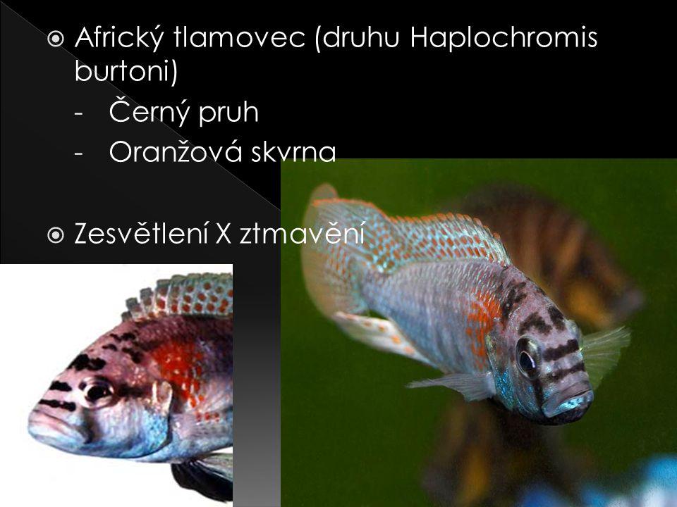  Africký tlamovec (druhu Haplochromis burtoni) -Černý pruh -Oranžová skvrna  Zesvětlení X ztmavění