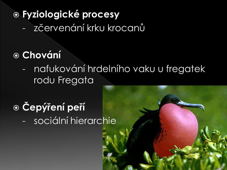  Fyziologické procesy -zčervenání krku krocanů  Chování -nafukování hrdelního vaku u fregatek rodu Fregata  Čepýření peří -sociální hierarchie