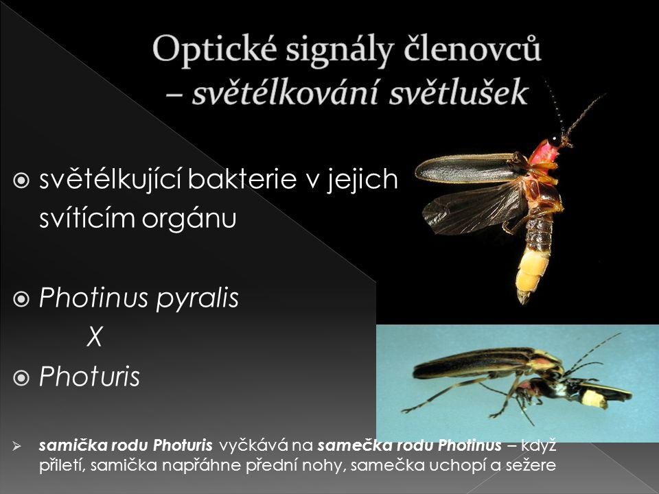  světélkující bakterie v jejich svítícím orgánu  Photinus pyralis X  Photuris  samička rodu Photuris vyčkává na samečka rodu Photinus – když přiletí, samička napřáhne přední nohy, samečka uchopí a sežere