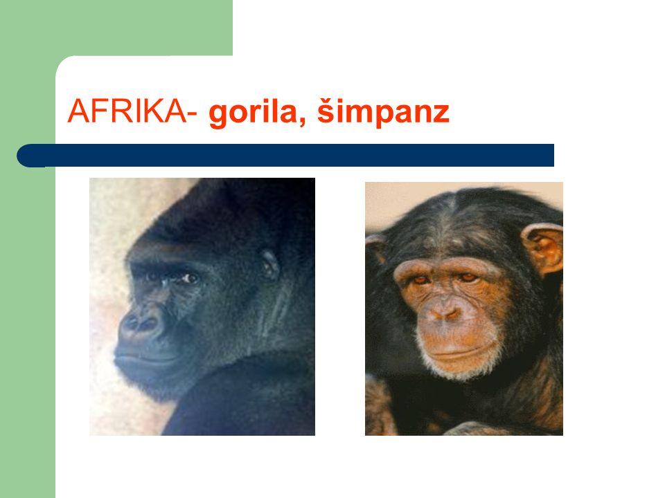 AFRIKA- gorila, šimpanz