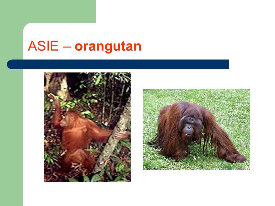 ASIE – orangutan