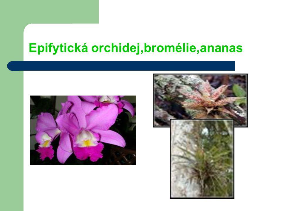 Epifytická orchidej,bromélie,ananas