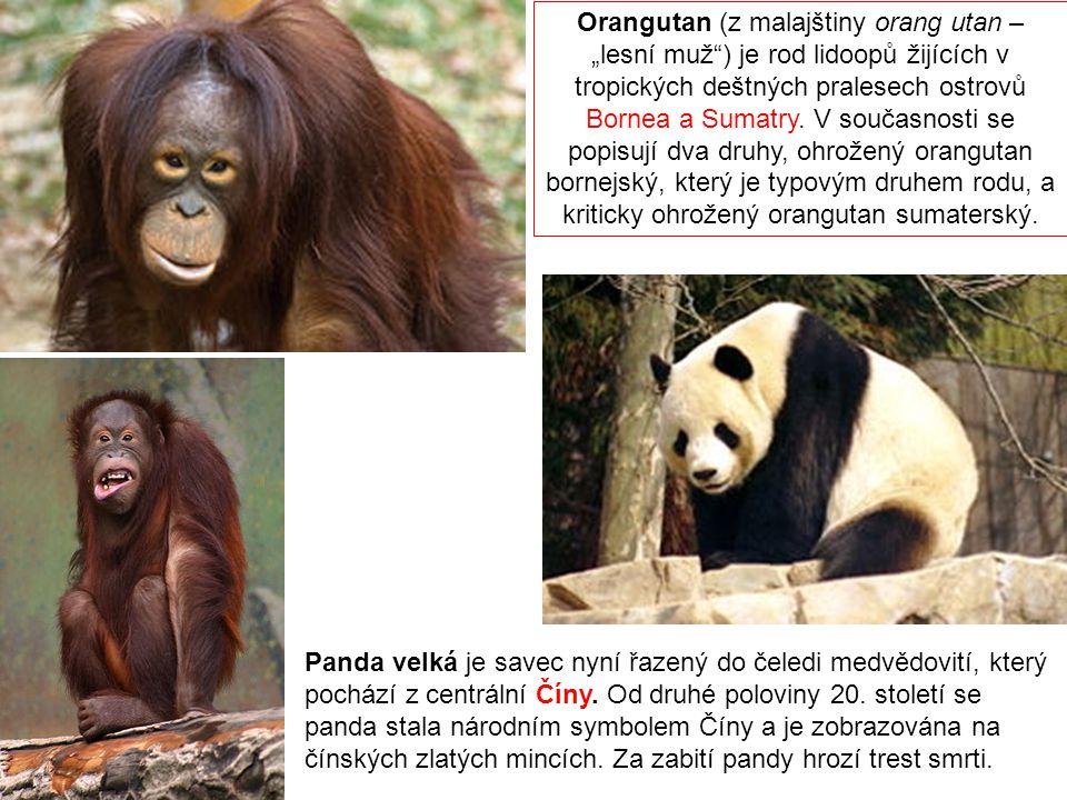 """Orangutan (z malajštiny orang utan – """"lesní muž"""") je rod lidoopů žijících v tropických deštných pralesech ostrovů Bornea a Sumatry. V současnosti se p"""