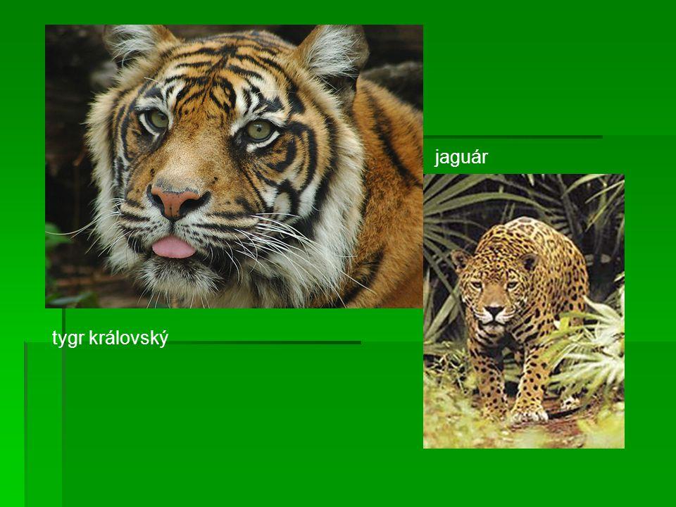 tygr královský jaguár