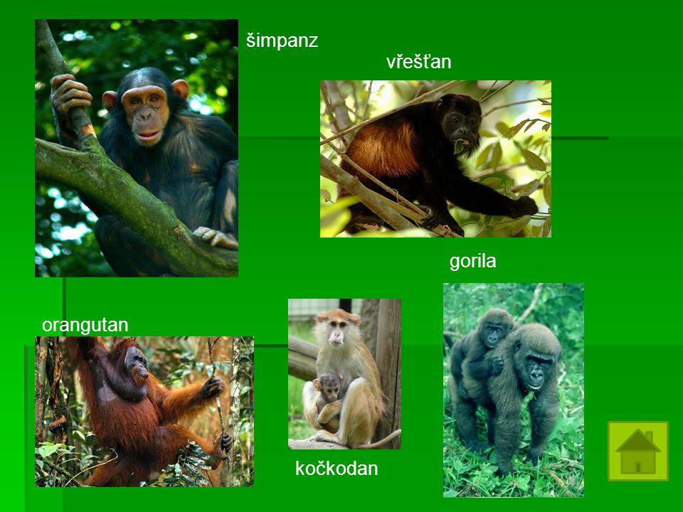 orangutan kočkodan gorila vřešťan šimpanz