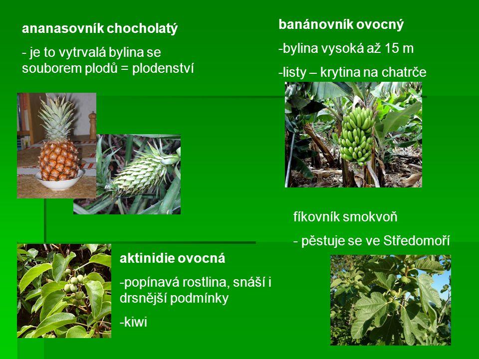 ananasovník chocholatý - je to vytrvalá bylina se souborem plodů = plodenství banánovník ovocný -bylina vysoká až 15 m -listy – krytina na chatrče fík