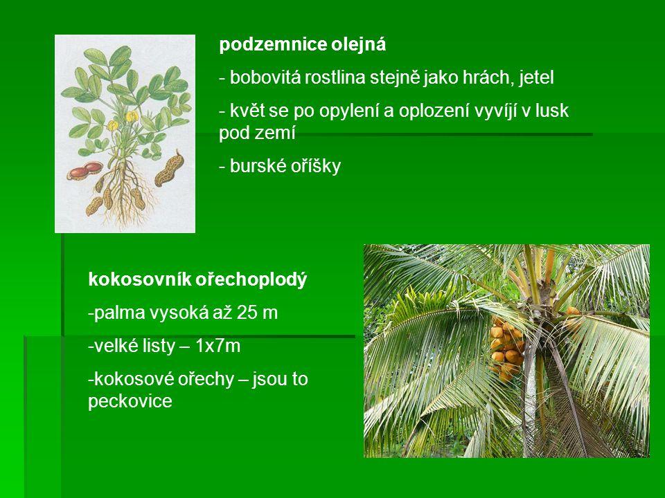 podzemnice olejná - bobovitá rostlina stejně jako hrách, jetel - květ se po opylení a oplození vyvíjí v lusk pod zemí - burské oříšky kokosovník ořech